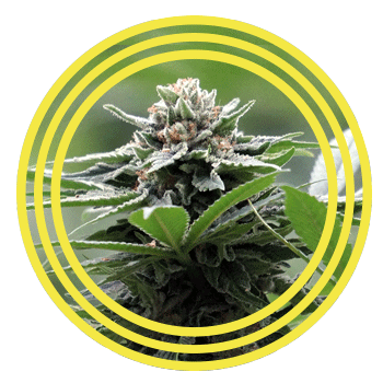 DoubleGreen CBD Blüte aus Eigenproduktion